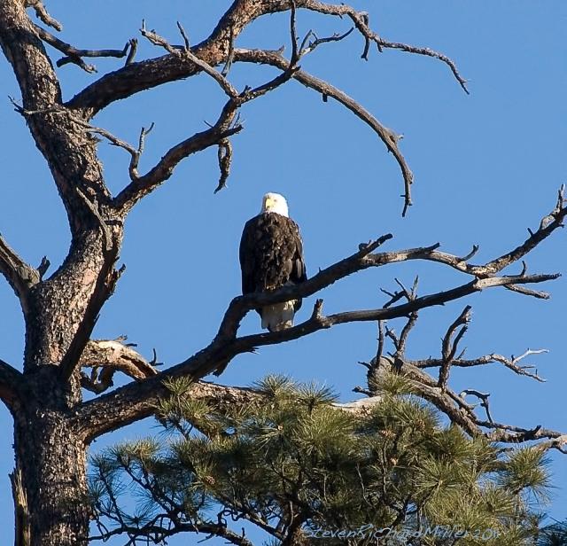 Bald eagle in ponderosa pine, Orilla Verde Rec. Area, Rio Grande, near Taos, NM