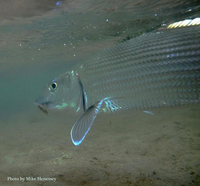 Kathy'sBonefish33