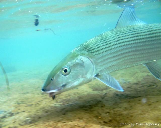 Kathy'sBonefish34