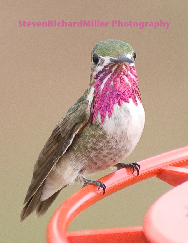 CalliopeHummingbird_DSC0010