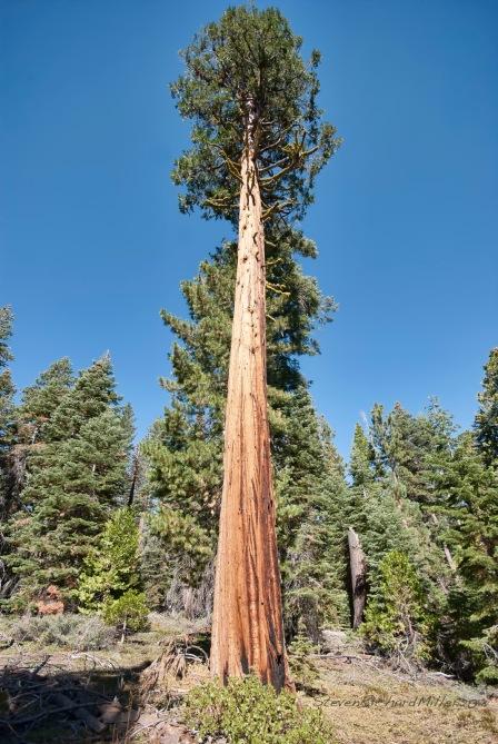 Incense Cedar, at Sugar Pine Point SP, CA