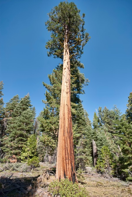 Incense Cedar, at Sugar Pine Point SP, CA