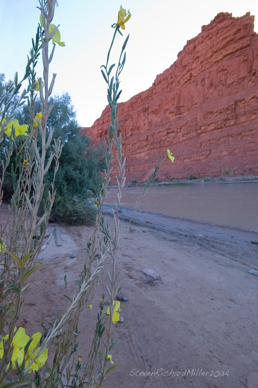 Yellow Evening Primrose alongside the San Juan river at Mexican Hat
