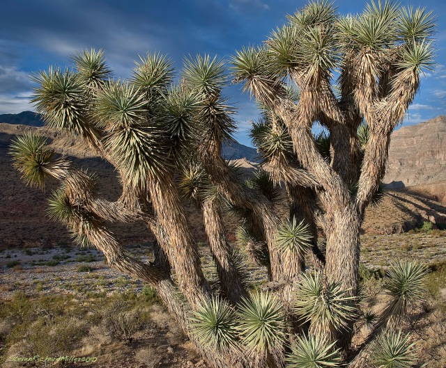Joshua Tree, Virgin River Gorge