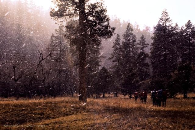 Ponderosa pines and snow