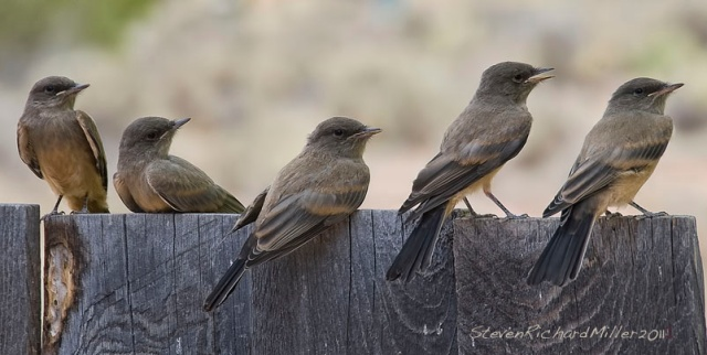 A brood of Say's Phoebes