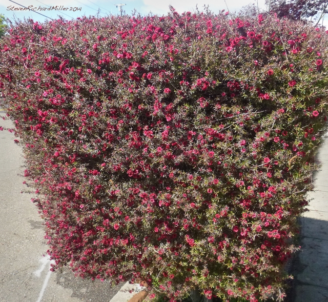 AlbanyRed-floweredBush529
