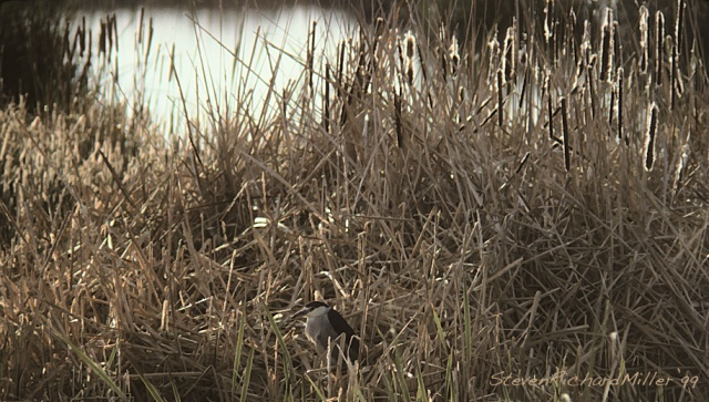 Black-crowned Night Heron in the rushes