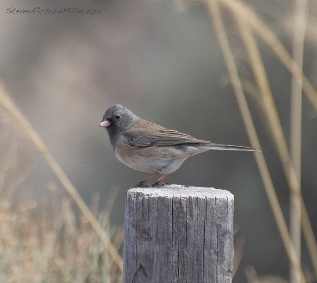 Dark-eyed junco, along the Rio Grande river, near Taos, NM