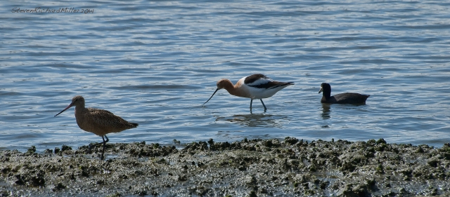 Marbled Godwit, Avocet, Coot