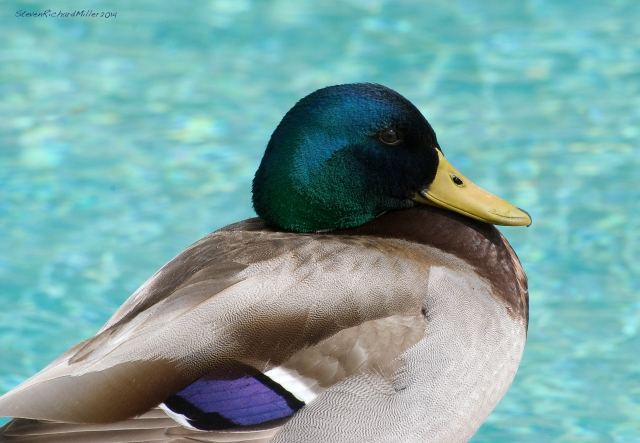 Male mallard by the pool