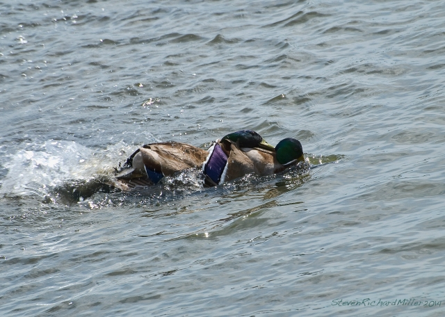 Pair of fighting mallard males and submerged mallard female