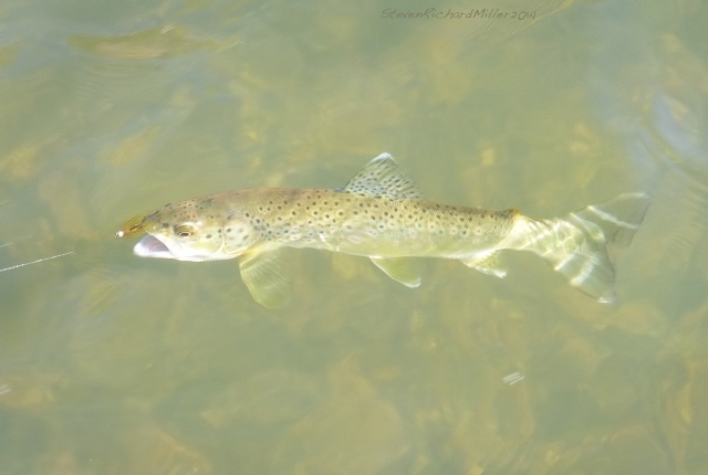 Brown trout, from  the Rio Grande river, near Taos, NM