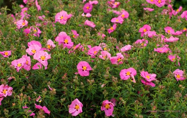 PinkkFlowersSim.0541