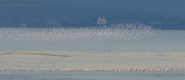 """Polarized"" flock of small wading birds"