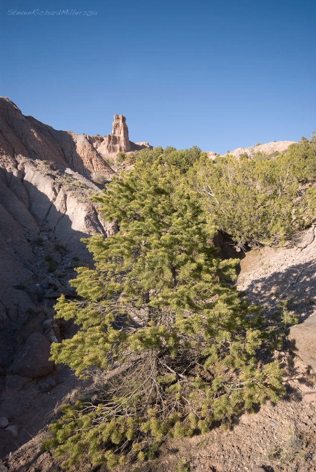 Pinon pine, with the Chimney beyond