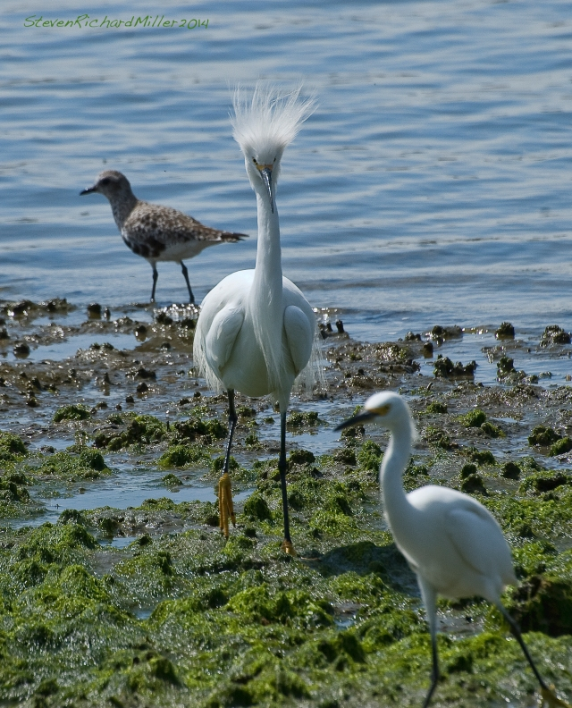 Snowy Egret male chases female