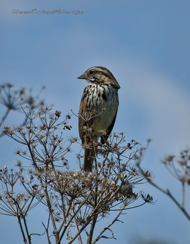 Song sparrow on fennel