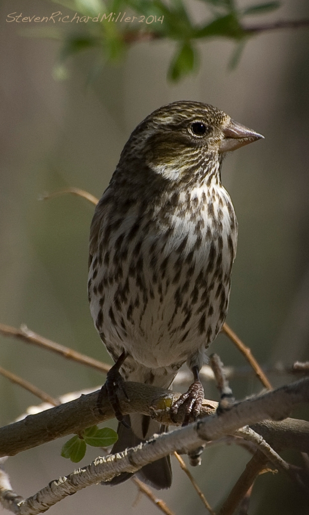 Sparrow - what kind?