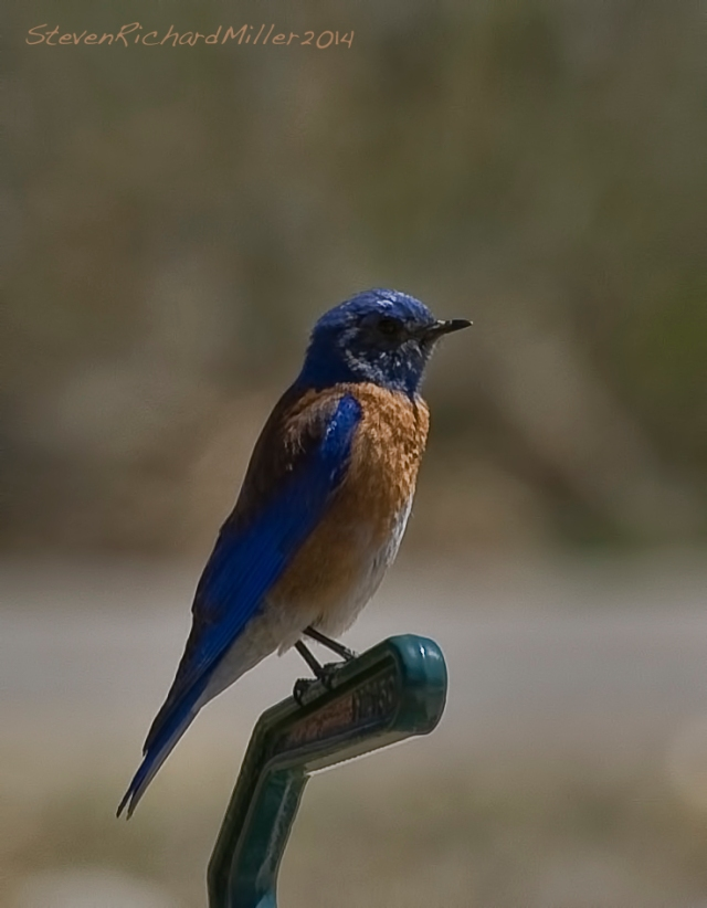 Western bluebird along the Rio Grande river, near Taos, NM