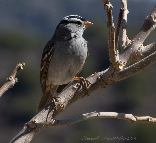 White-crowned sparrow, along the Rio Grande river, near Taos, NM