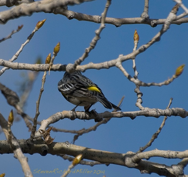 Yellow-rumped warbler, back (yellow-rump) view