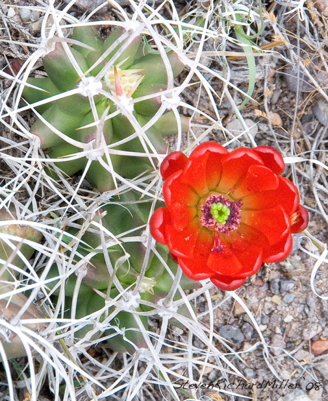 Claretcup cactus