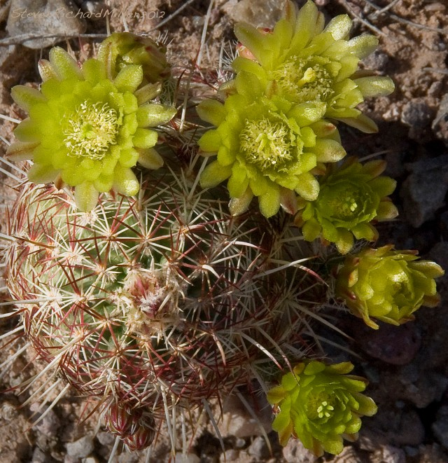 Green Hedgehog cactus