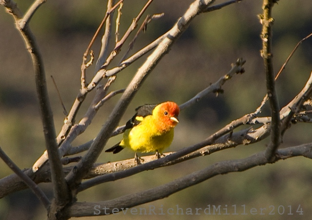WesternTanager10