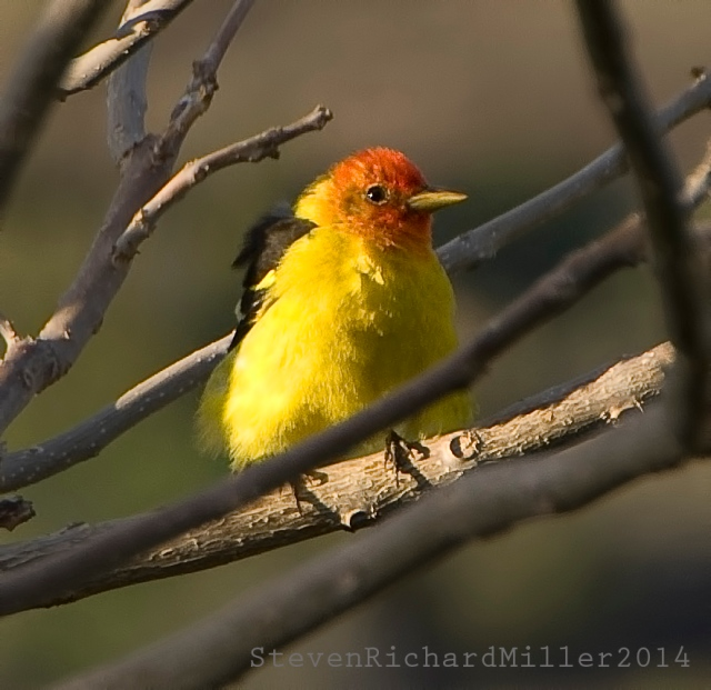 WesternTanager47