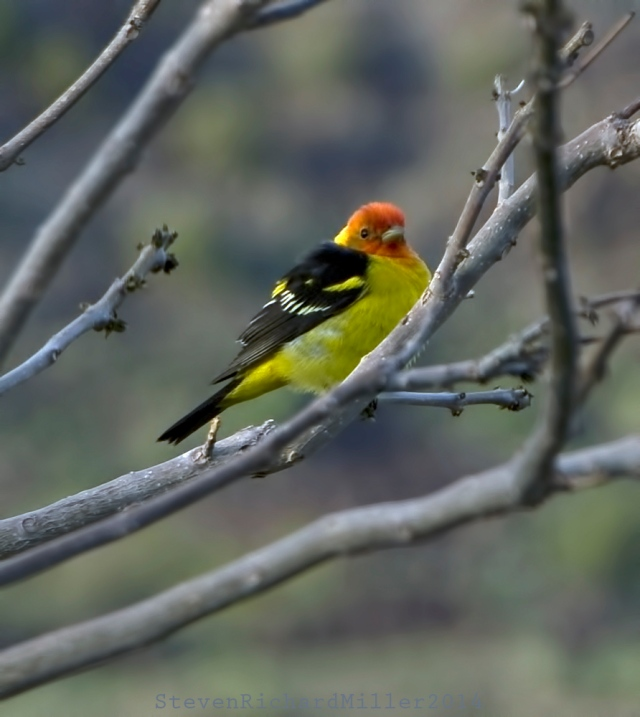 WesternTanager62
