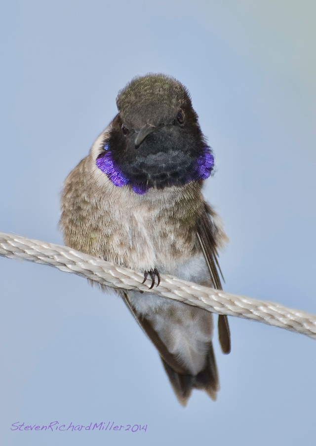 Black-chinned hummingbird, Embudo, NM