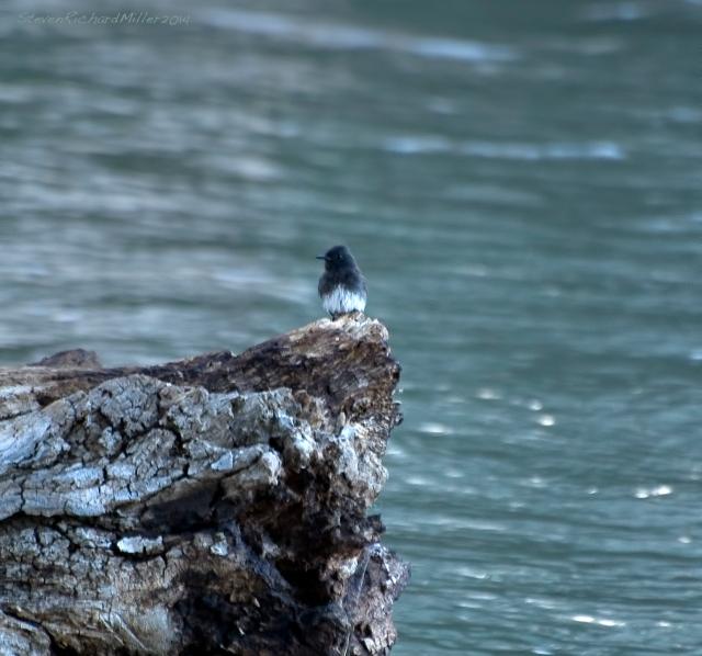 Black phoebe on midstream log