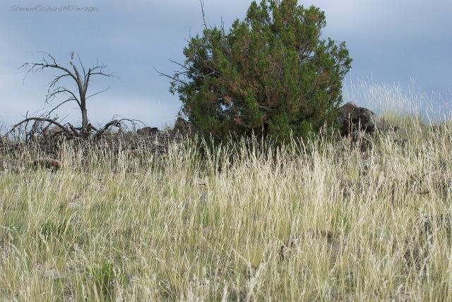 Grass and juniper