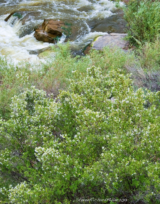 Mock orange, along the Rio Grande river, near Taos, NM