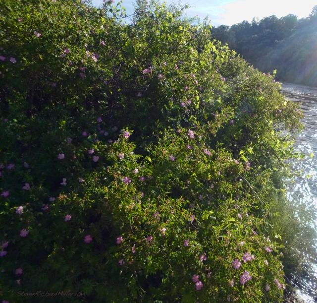 Wild roses,  along the racecourse4 run of the Rio Grande river, near Taos, NM