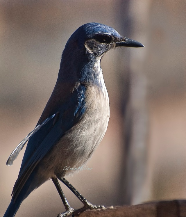 Scrub jay, with an out-of-place wing feather