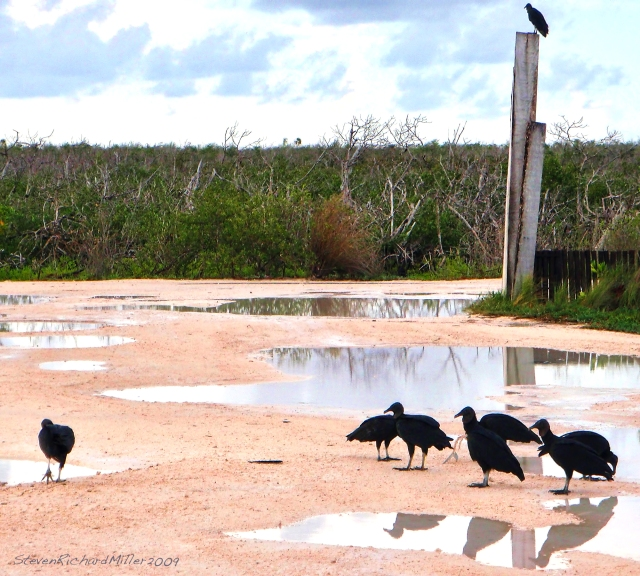 Black vultures, at the marina, Sept. 2009