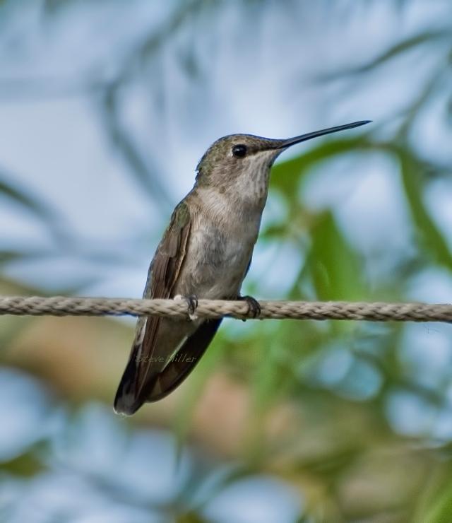 Black-chinnedHummingbird2