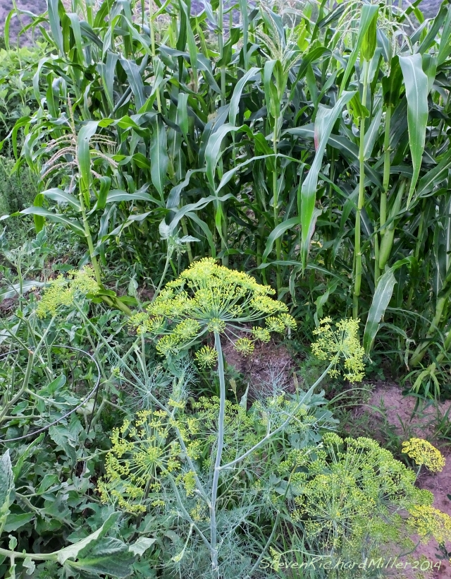 Fennel and corn, in Kathy's garden