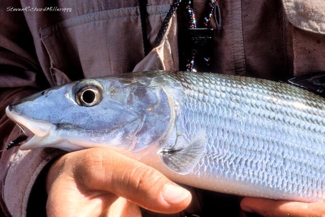Bonefish, 1996