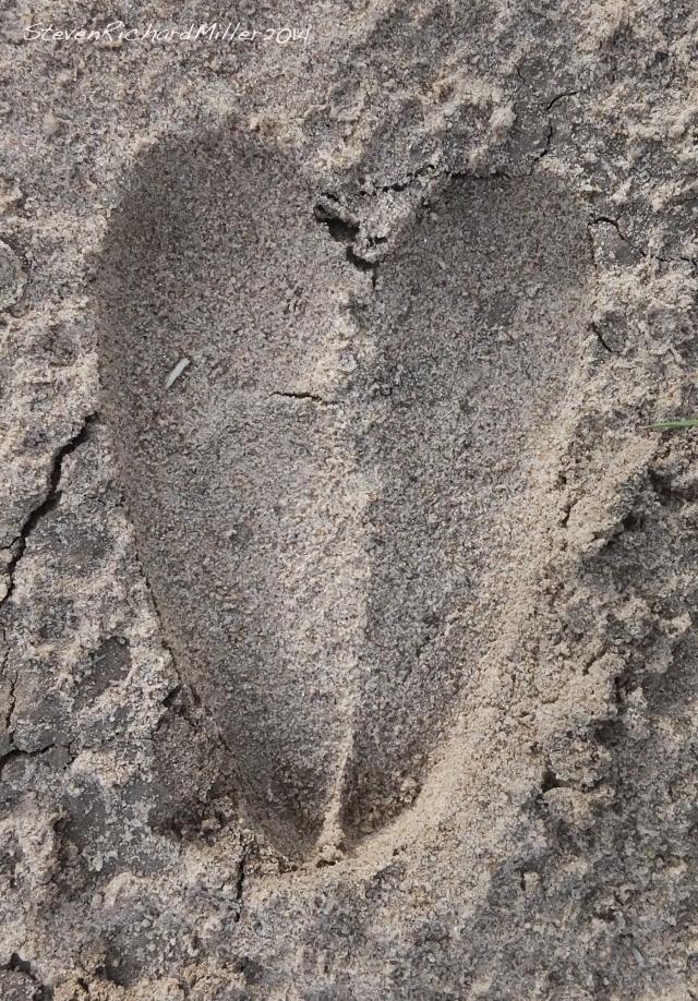 Deer track in moist sand
