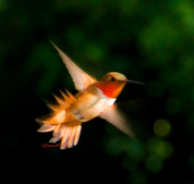 Male Rufous hummingbird, coming in hot