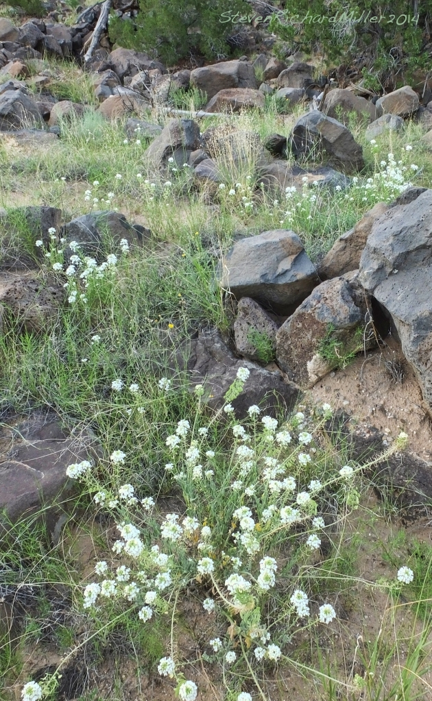 White flowers and basalt boulders