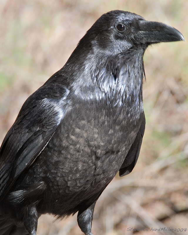 This raven kept a close on on us at Papago Creek
