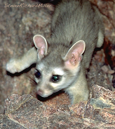 Ringtail, at Grapevine camp