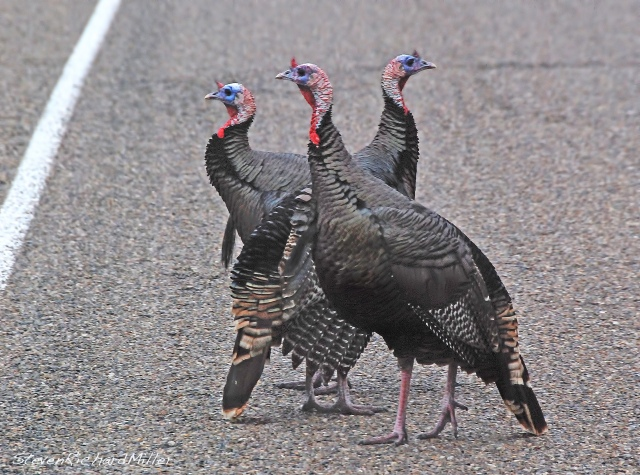 Wild turkeys, at Arroyo City, next to Laguna Atascosa NWR, TX