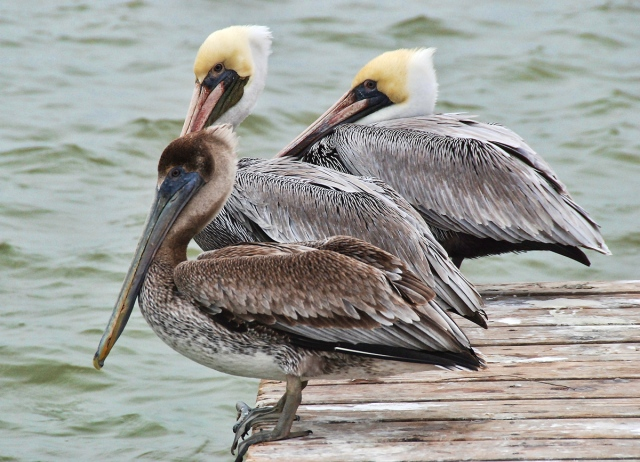 Brown Pelicans, Arroyo Colorado (Arroyo City), TX