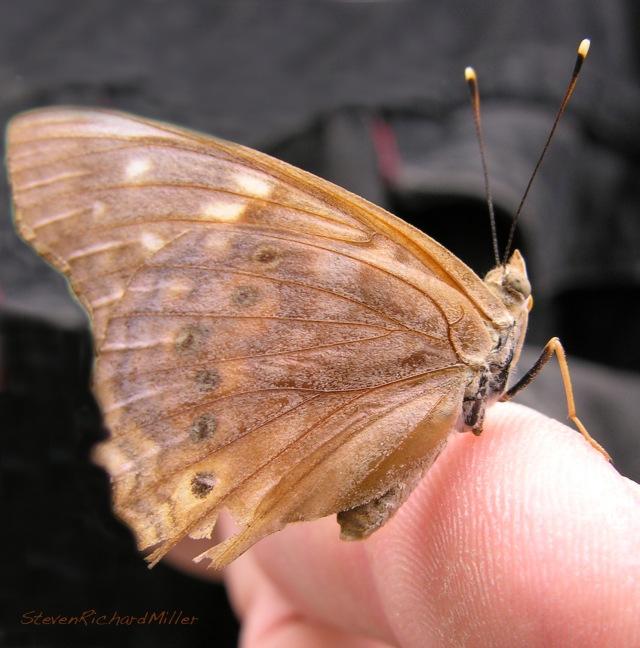 Butterfly, Santa Ana NWR, TX