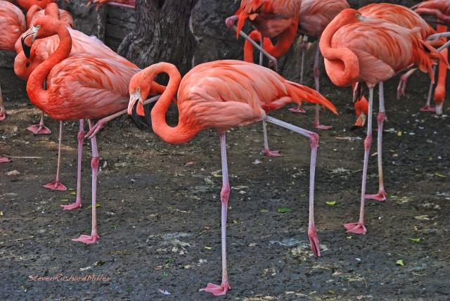 Flamingos, Gladys Porter Zoo, Brownsville, TX